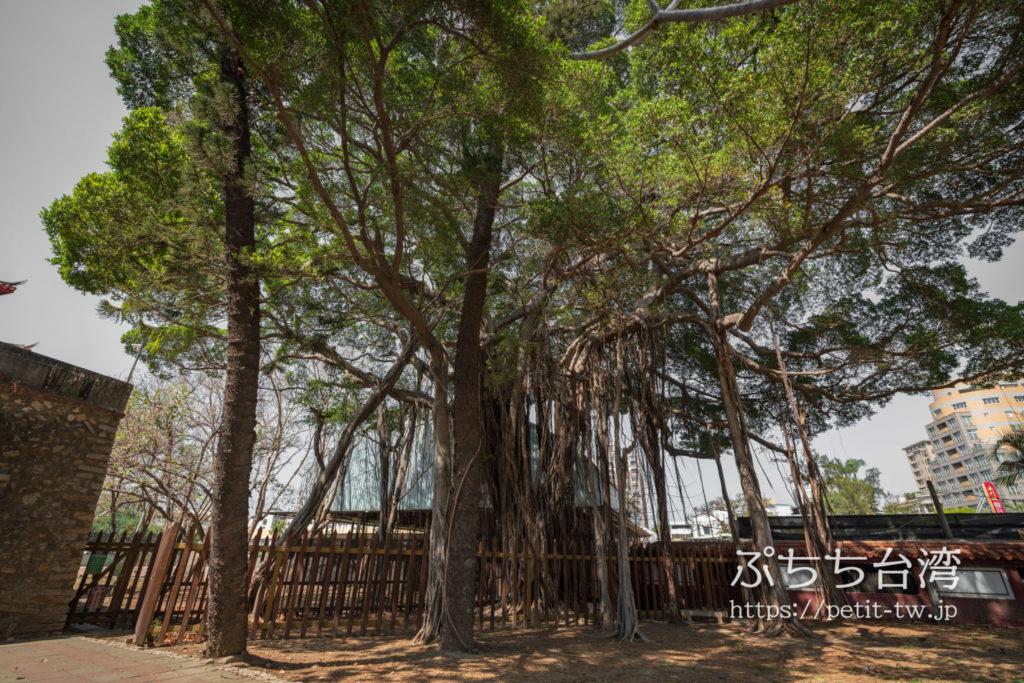 台南の台湾府城大南門のガジュマルの木