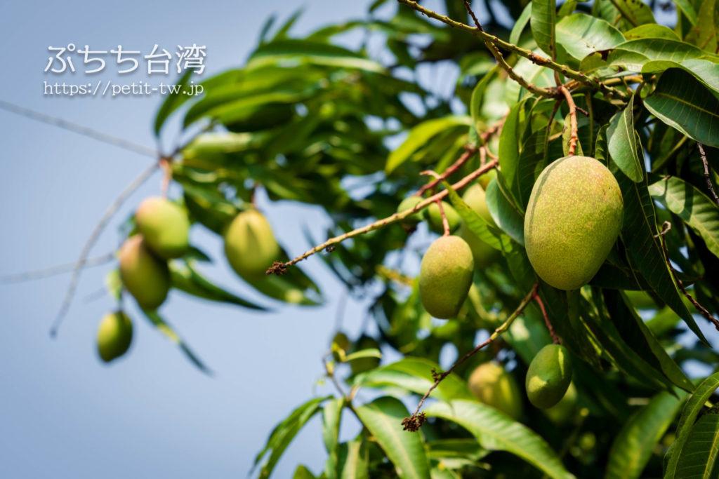 打狗英国領事館文化園区のマンゴーの木