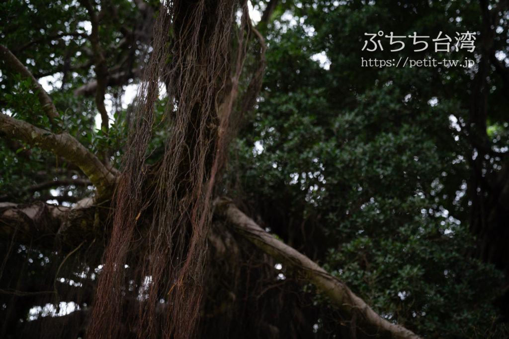 台南の成功大学キャンパスのガジュマルの木