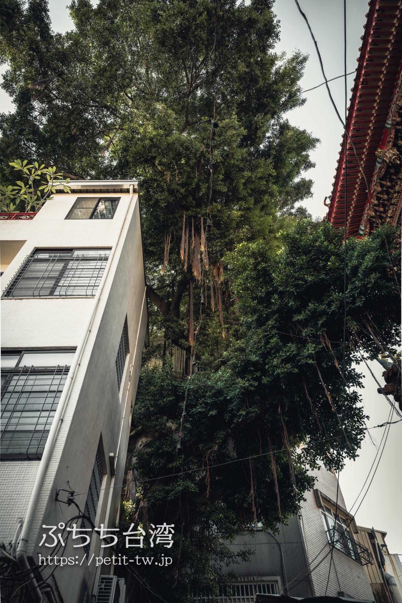 台南の神農街 神榕一四七のガジュマルの木